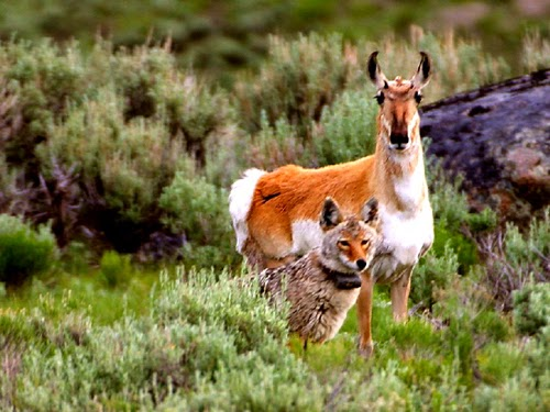 Wildlife at Yellowstone National Park