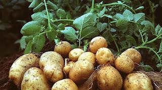 """""""Cultivo de la Papa, patata-5"""""""