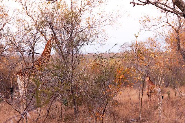 giraffa kruger safari sud africa mamma e cucciolo