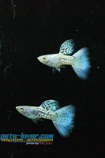Jual Guppy MSSBG,  Harga Guppy MSSBG,  Toko Guppy MSSBG,  Diskon Guppy MSSBG,  Beli Guppy MSSBG,  Review Guppy MSSBG,  Promo Guppy MSSBG,  Spesifikasi Guppy MSSBG,  Guppy MSSBG Murah,  Guppy MSSBG Asli,  Guppy MSSBG Original,  Guppy MSSBG Jakarta,  Jenis Guppy MSSBG,  Budidaya Guppy MSSBG,  Peternak Guppy MSSBG,  Cara Merawat Guppy MSSBG,  Tips Merawat Guppy MSSBG,  Bagaimana cara merawat Guppy MSSBG,  Bagaimana mengobati Guppy MSSBG,  Ciri-Ciri Hamil Guppy MSSBG,  Kandang Guppy MSSBG,  Ternak Guppy MSSBG,  Makanan Guppy MSSBG,  Guppy MSSBG Termahal,  Adopsi Guppy MSSBG,  Jual Cepat Guppy MSSBG,  Guppy MSSBG  Jakarta,  Guppy MSSBG  Bandung,  Guppy MSSBG  Medan,  Guppy MSSBG  Bali,  Guppy MSSBG  Makassar,  Guppy MSSBG  Jambi,  Guppy MSSBG  Pekanbaru,  Guppy MSSBG  Palembang,  Guppy MSSBG  Sumatera,  Guppy MSSBG  Langsa,  Guppy MSSBG  Lhokseumawe,  Guppy MSSBG  Meulaboh,  Guppy MSSBG  Sabang,  Guppy MSSBG  Subulussalam,  Guppy MSSBG  Denpasar,  Guppy MSSBG  Pangkalpinang,  Guppy MSSBG  Cilegon,  Guppy MSSBG  Serang,  Guppy MSSBG  Tangerang Selatan,  Guppy MSSBG  Tangerang,  Guppy MSSBG  Bengkulu,  Guppy MSSBG  Gorontalo,  Guppy MSSBG  guppy,  Guppy MSSBG  tropical fish,  Guppy MSSBG  aquarium fish,  Guppy MSSBG  bubble guppies games,  Guppy MSSBG  guppy fish,  Guppy MSSBG  bubble guppies videos,  Guppy MSSBG  bubble guppies episodes,  Guppy MSSBG  bubble guppies full episodes,  Guppy MSSBG  super guppy,  Guppy MSSBG  bubble guppies cast,  Guppy MSSBG  aquarium online,  Guppy MSSBG  bubble guppies songs,  Guppy MSSBG  tetra aquarium,  Guppy MSSBG  guppies for sale,  Guppy MSSBG  pregnant guppy,  Guppy MSSBG  bubble guppies characters,  Guppy MSSBG  bubble guppy,  Guppy MSSBG  bubble guppies names,  Guppy MSSBG  guppies fish,  Guppy MSSBG  guppy breeding,  Guppy MSSBG  breeding guppies,  Guppy MSSBG  bubble guppie,  Guppy MSSBG  nick jr bubble guppies,  Guppy MSSBG  bubble guppies coloring pages,  Guppy MSSBG  bubble guppies video,  Guppy MSSBG  bubble guppy games,  Guppy MSSBG  guppy aquarium,  Guppy MSSBG  guppy care,  Guppy MSSBG  baby guppies,  Guppy MSSBG  design aquarium,  Guppy MSSBG  how to breed guppies,  Guppy MSSBG  endlers guppy,  Guppy MSSBG  bubble guppies wiki,  Guppy MSSBG  bubble guppies game,  Guppy MSSBG  guppies care,  Guppy MSSBG  guppy fry,  Guppy MSSBG  male guppies,  Guppy MSSBG  buble guppies,  Guppy MSSBG  guppy fish care,  Guppy MSSBG  female guppies,  Guppy MSSBG  female guppy,  Guppy MSSBG  guppy tank,  Guppy MSSBG  types of guppies,  Guppy MSSBG  online aquarium,  Guppy MSSBG  guppies aquarium,  Guppy MSSBG  pregnant guppies,  Guppy MSSBG  guppy giving birth,  Guppy MSSBG  what do guppies eat,  Guppy MSSBG  guppy life span,  Guppy MSSBG  guppy pond,  Guppy MSSBG  guppy grass,  Guppy MSSBG  guppies breeding,  Guppy MSSBG  aquarium guppy,  Guppy MSSBG  guppies giving birth,  Guppy MSSBG  bubble guppies pictures,  Guppy MSSBG  bubble guppies show,  Guppy MSSBG  male guppy,  Guppy MSSBG  guppy fish for sale,  Guppy MSSBG  pregnant guppy fish,  Guppy MSSBG  endler guppies,  Guppy MSSBG  guppy babies,  Guppy MSSBG  the bubble guppies,  Guppy MSSBG  bubble guppies images,  Guppy MSSBG  bubble guppies bubble puppy,  Guppy MSSBG  guppy food,  Guppy MSSBG  ferplast aquarium,  Guppy MSSBG  guppy temperature,  Guppy MSSBG  the binding isaac,  Guppy MSSBG  guppy tail,  Guppy MSSBG  the rebirth of isaac,  Guppy MSSBG  the binding of isaac rebirth guppy,  Guppy MSSBG  isaac the game,  Guppy MSSBG  guppie fish,  Guppy MSSBG  guppy fish breeding,  Guppy MSSBG  guppy for sale,  Guppy MSSBG  guppy tank mates,  Guppy MSSBG  aquarium shop online,  Guppy MSSBG  guppy gestation,  Guppy MSSBG  the binding of isaac guppy,  Guppy MSSBG  keeping guppies,  Guppy MSSBG  guppy definition,  Guppy MSSBG  guppy meaning,  Guppy MSSBG  guppy breathing,  Guppy MSSBG  fish tropical,  Guppy MSSBG  endlers guppies,  Guppy MSSBG  baby guppy,  Guppy MSSBG  nickelodeon bubble guppies,  Guppy MSSBG  guppy fish tank,  Guppy MSSBG  guppy types,  Guppy MSSBG  guppy fish types,  Guppy MSSBG  guppy diseases,  Guppy MSSBG  the binding of isaac 2,  Guppy MSSBG  isaac the binding,  Guppy MSSBG  wild guppies,  Guppy MSSBG  wild guppy,  Guppy MSSBG  fantail guppies,  Guppy MSSBG  guppy pregnancy,  Guppy MSSBG  lyretail guppy,  Guppy MSSBG  pregnant guppy stages,  Guppy MSSBG  guppy pregnant,  Guppy MSSBG  male and female guppies,  Guppy MSSBG  bubble guppys,  Guppy MSSBG  guppy birth,  Guppy MSSBG  do guppies need a heater,  Guppy MSSBG  pictures of guppies,  Guppy MSSBG  guppy fish life span,  Guppy MSSBG  guppy water temperature,  Guppy MSSBG  show guppies,  Guppy MSSBG  black guppy,  Guppy MSSBG  red guppy,  Guppy MSSBG  binding isaac wiki,  Guppy MSSBG  binding of isaac 2,  Guppy MSSBG  moscow guppy,  Guppy MSSBG  guppy forum,  Guppy MSSBG  guppies online,  Guppy MSSBG  fantail guppy,  Guppy MSSBG  yellow guppy,  Guppy MSSBG  snakeskin guppy,  Guppy MSSBG  guppy fry growth chart,  Guppy MSSBG  guppy fish food,  Guppy MSSBG  temperature for guppies,  Guppy MSSBG  water temperature for guppies,  Guppy MSSBG  guppy games,  Guppy MSSBG  black moscow guppy,  Guppy MSSBG  full red guppy,  Guppy MSSBG  blue moscow guppy,  Guppy MSSBG  game isaac,  Guppy MSSBG  male guppy fish,  Guppy MSSBG  guppy varieties,  Guppy MSSBG  albino guppy,  Guppy MSSBG  guppy pregnancy stages,  Guppy MSSBG  tequila sunrise guppy,  Guppy MSSBG  guppy fin rot,  Guppy MSSBG  guppy genetics,  Guppy MSSBG  pink guppy,  Guppy MSSBG  the guppy,  Guppy MSSBG  highland guppy,  Guppy MSSBG  guppy breeding tank,  Guppy MSSBG  guppy breeds,  Guppy MSSBG  show guppies for sale,  Guppy MSSBG  guppies for sale uk,  Guppy MSSBG  is my guppy pregnant,  Guppy MSSBG  guppies having babies,  Guppy MSSBG  guppy female,  Guppy MSSBG  guppy fry care,  Guppy MSSBG  do guppies need a filter,  Guppy MSSBG  do guppies eat their babies,  Guppy MSSBG  do guppies sleep,  Guppy MSSBG  aquarium 40 liter,  Guppy MSSBG  guppy game,  Guppy MSSBG  neon guppies,  Guppy MSSBG  neon guppy,  Guppy MSSBG  guppy neon,  Guppy MSSBG  isaac of binding,  Guppy MSSBG  moscow blue guppy,  Guppy MSSBG  guppy tail rot,  Guppy MSSBG  isaac the rebirth,  Guppy MSSBG  fish guppies,  Guppy MSSBG  guppies dying,  Guppy MSSBG  guppy species,  Guppy MSSBG  guppy gravid spot,  Guppy MSSBG  the of isaac,  Guppy MSSBG  breeding guppies for beginners,  Guppy MSSBG  guppy breeding cycle,  Guppy MSSBG  female guppies for sale,  Guppy MSSBG  guppies pregnant,  Guppy MSSBG  pregnant female guppy,  Guppy MSSBG  caring for guppies,  Guppy MSSBG  guppies babies,  Guppy MSSBG  guppy fry growth,  Guppy MSSBG  guppy tank setup,  Guppy MSSBG  guppy fish giving birth,  Guppy MSSBG  guppy fry food,  Guppy MSSBG  different types of guppies,  Guppy MSSBG  types of guppy,  Guppy MSSBG  guppy pictures,  Guppy MSSBG  aquarium voor beginners,  Guppy MSSBG  guppy life cycle,  Guppy MSSBG  guppies temperature,  Guppy MSSBG  guppy gestation period,  Guppy MSSBG  the binding of the isaac,  Guppy MSSBG  feeding guppies,  Guppy MSSBG  guppi fish,  Guppy MSSBG  guppy fish facts,  Guppy MSSBG  guppy breeders,  Guppy MSSBG  guppy wiki,  Guppy MSSBG  freshwater guppies,  Guppy MSSBG  rare guppies,  Guppy MSSBG  raising guppies,  Guppy MSSBG  guppy colors,  Guppy MSSBG  guppy strains,  Guppy MSSBG  guppy size,  Guppy MSSBG  turquoise guppy,  Guppy MSSBG  leopard guppy,  Guppy MSSBG  guppy love,  Guppy MSSBG  guppy images,  Guppy MSSBG  guppy plant,  Guppy MSSBG  water temp for guppies,  Guppy MSSBG  guppy breeding setup,  Guppy MSSBG  guppies for sale online,  Guppy MSSBG  guppys aquarium,  Guppy MSSBG  guppy fish pregnant,  Guppy MSSBG  guppy care sheet,  Guppy MSSBG  endler guppy hybrid,  Guppy MSSBG  baby guppy fish,  Guppy MSSBG  female guppy fish,  Guppy MSSBG  bubble guppies nickelodeon,  Guppy MSSBG  guppy tanks,  Guppy MSSBG  guppies food,  Guppy MSSBG  best food for guppies,  Guppy MSSBG  tropical guppies,  Guppy MSSBG  black guppy fish,  Guppy MSSBG  black moscow guppies,  Guppy MSSBG  gestation period for guppies,  Guppy MSSBG  blue neon guppy,  Guppy MSSBG  red mosaic guppy,  Guppy MSSBG  betta and guppies,  Guppy MSSBG  guppy fishes,  Guppy MSSBG  fish compatible with guppies,  Guppy MSSBG  what is a guppy fish,  Guppy MSSBG  guppy s,  Guppy MSSBG  guppy guppy,  Guppy MSSBG  guppy facts,  Guppy MSSBG  guppy behavior,  Guppy MSSBG  green guppy,  Guppy MSSBG  white guppy,  Guppy MSSBG  guppy dropsy,  Guppy MSSBG  purple guppy,  Guppy MSSBG  bloated guppy,  Guppy MSSBG  angelfish and guppies,  Guppy MSSBG  fin rot guppy,  Guppy MSSBG  guppies keep dying,  Guppy MSSBG  mollies and guppies,  Guppy MSSBG  stages of guppy pregnancy,  Guppy MSSBG  south african guppies,  Guppy MSSBG  mosaic guppy,  Guppy MSSBG  guppy cartoon,  Guppy MSSBG  breeding guppy,  Guppy MSSBG  aquarium guppies,  Guppy MSSBG  pregnant guppie,  Guppy MSSBG  female guppy pregnant,  Guppy MSSBG  guppy tank size,  Guppy MSSBG  guppies tank mates,  Guppy MSSBG  do guppies give live birth,  Guppy MSSBG  buy guppies,  Guppy MSSBG  food for guppies,  Guppy MSSBG  types of guppy fish,  Guppy MSSBG  guppy disease,  Guppy MSSBG  tropical fish guppies,  Guppy MSSBG  black guppies,  Guppy MSSBG  guppy black,  Guppy MSSBG  red guppies,  Guppy MSSBG  red guppy fish,  Guppy MSSBG  moscow guppies,  Guppy MSSBG  guppies and bettas,  Guppy MSSBG  guppy fish information,  Guppy MSSBG  guppy fish images,  Guppy MSSBG  all about guppies,  Guppy MSSBG  guppy breeder,  Guppy MSSBG  guppys online,  Guppy MSSBG  guppy poecilia reticulata,  Guppy MSSBG  guppy a,  Guppy MSSBG  purple guppies,  Guppy MSSBG  beautiful guppies,  Guppy MSSBG  guppy pdf,  Guppy MSSBG  guppy swimming vertically,  Guppy MSSBG  guppy names,  Guppy MSSBG  yellow guppies,  Guppy MSSBG  male guppies fighting,  Guppy MSSBG  guppies and tetras,  Guppy MSSBG  saltwater guppies,  Guppy MSSBG  guppies and mollies,  Guppy MSSBG  the guppies,  Guppy MSSBG  breeding guppies in community tank,  Guppy MSSBG  breed guppies,  Guppy MSSBG  live guppies for sale,  Guppy MSSBG  guppies fish for sale,  Guppy MSSBG  breeding guppies for profit,  Guppy MSSBG  guppies aquarium products,  Guppy MSSBG  taking care of guppies,  Guppy MSSBG  guppies fish care,  Guppy MSSBG  john endler guppies,  Guppy MSSBG  guppy fish babies,  Guppy MSSBG  male and female guppy,  Guppy MSSBG  guppy fry development,  Guppy MSSBG  guppy fry stages,  Guppy MSSBG  guppies fish tank,  Guppy MSSBG  guppies tank,  Guppy MSSBG  guppy fry tank,  Guppy MSSBG  female guppy giving birth,  Guppy MSSBG  pregnant guppy giving birth,  Guppy MSSBG  guppies birth,  Guppy MSSBG  guppy give birth,  Guppy MSSBG  guppies types,  Guppy MSSBG  how much do guppies cost,  Guppy MSSBG  do guppies eat algae,  Guppy MSSBG  guppy diseases pictures,  Guppy MSSBG  pregnant guppy pictures,  Guppy MSSBG  pictures of guppy fish,  Guppy MSSBG  guppy fish diseases,  Guppy MSSBG  show guppy,  Guppy MSSBG  guppy tropical fish,  Guppy MSSBG  guppies tropical fish,  Guppy MSSBG  half black guppy,  Guppy MSSBG  neon blue guppy,  Guppy MSSBG  guppies and neon tetras,  Guppy MSSBG  binding of the isaac,  Guppy MSSBG  moscow blue guppies,  Guppy MSSBG  of isaac game,  Guppy MSSBG  feeding guppy fry,  Guppy MSSBG  game the binding of isaac,  Guppy MSSBG  the binding of isaac the game,  Guppy MSSBG  blue guppy fish,  Guppy MSSBG  fish that can live with guppies,  Guppy MSSBG  images of guppy fish,  Guppy MSSBG  guppy online,  Guppy MSSBG  albino guppies,  Guppy MSSBG  pics of guppies,  Guppy MSSBG  my guppies keep dying,  Guppy MSSBG  guppy colours,  Guppy MSSBG  guppy growth chart,  Guppy MSSBG  golden guppy,  Guppy MSSBG  colorful guppies,  Guppy MSSBG  columnaris guppy,  Guppy MSSBG  guppy diet,  Guppy MSSBG  dragon guppy,  Guppy MSSBG  atfg guppy,  Guppy MSSBG  blue diamond guppy,  Guppy MSSBG  gold guppy,  Guppy MSSBG  guppy scientific name,  Guppy MSSBG  guppies fighting,  Guppy MSSBG  pingu guppy,  Guppy MSSBG  trinidadian guppies,  Guppy MSSBG  dropsy guppy,  Guppy MSSBG  fat guppy,  Guppy MSSBG  guppy guppies,  Guppy MSSBG  guppy singapore,  Guppy MSSBG  sunset guppy,  Guppy MSSBG  guppy natural habitat,  Guppy MSSBG  guppies breeding cycle,  Guppy MSSBG  breeding tank for guppies,  Guppy MSSBG  guppy breeding guide,  Guppy MSSBG  guppies fish breeding,  Guppy MSSBG  guppy breeding trap,  Guppy MSSBG  guppy breeding tank setup,  Guppy MSSBG  guppy sale,  Guppy MSSBG  rare guppies for sale,  Guppy MSSBG  endler guppies for sale,  Guppy MSSBG  aquarium de guppy,  Guppy MSSBG  pregnant guppy behavior,  Guppy MSSBG  guppie care,  Guppy MSSBG  guppy care guide,  Guppy MSSBG  baby guppy care,  Guppy MSSBG  guppy having babies,  Guppy MSSBG  guppies male or female,  Guppy MSSBG  guppies female,  Guppy MSSBG  guppy fish female,  Guppy MSSBG  guppies fry,  Guppy MSSBG  raising guppy fry,  Guppy MSSBG  guppy birth signs,  Guppy MSSBG  guppies live birth,  Guppy MSSBG  guppy fish pictures,  Guppy MSSBG  guppies pictures,  Guppy MSSBG  female guppy pictures,  Guppy MSSBG  life cycle of a guppy,  Guppy MSSBG  guppies water temperature,  Guppy MSSBG  tropical fish guppy,  Guppy MSSBG  tropical guppy,  Guppy MSSBG  moscow black guppy,  Guppy MSSBG  neon tetras and guppies,  Guppy MSSBG  guppy tails,  Guppy MSSBG  guppy feeding,  Guppy MSSBG  bettas and guppies,  Guppy MSSBG  guppies and betta,  Guppy MSSBG  can guppies live with bettas,  Guppy MSSBG  guppy fish price,  Guppy MSSBG  guppy fish varieties,  Guppy MSSBG  wild guppy fish,  Guppy MSSBG  guppys fish,  Guppy MSSBG  guppies information,  Guppy MSSBG  free guppies,  Guppy MSSBG  blue glass guppy,  Guppy MSSBG  guppy d,  Guppy MSSBG  pink guppies,  Guppy MSSBG  guppy behaviour,  Guppy MSSBG  common guppy,  Guppy MSSBG  ribbon guppy,  Guppy MSSBG  kinds of guppies,  Guppy MSSBG  gonopodium guppy,  Guppy MSSBG  rare guppy,  Guppy MSSBG  guppy compatibility,  Guppy MSSBG  pretty guppies,  Guppy MSSBG  snakeskin guppies,  Guppy MSSBG  guppy anatomy,  Guppy MSSBG  green guppies,  Guppy MSSBG  guppies in the wild,  Guppy MSSBG  guppy growth,  Guppy MSSBG  guppy water temp,  Guppy MSSBG  guppy swim bladder,  Guppy MSSBG  german yellow guppy,  Guppy MSSBG  guppy videos,  Guppy MSSBG  cartoon guppy,  Guppy MSSBG  guppy not eating,  Guppy MSSBG  exotic guppy,  Guppy MSSBG  breeding guppys,  Guppy MSSBG  breeding guppy fish,  Guppy MSSBG  guppies for sale cheap,  Guppy MSSBG  guppy breed,  Guppy MSSBG  cheap guppies for sale,  Guppy MSSBG  wild guppies for sale,  Guppy MSSBG  guppys for sale,  Guppy MSSBG  baby guppies for sale,  Guppy MSSBG  guppy fry for sale,  Guppy MSSBG  guppy fish aquarium,  Guppy MSSBG  aquarium fish guppy,  Guppy MSSBG  care for guppies,  Guppy MSSBG  bubble guppies nick,  Guppy MSSBG  nick bubble guppies,  Guppy MSSBG  guppie fry,  Guppy MSSBG  caring for guppy fry,  Guppy MSSBG  guppy fish tanks,  Guppy MSSBG  female guppies giving birth,  Guppy MSSBG  where to buy guppies,  Guppy MSSBG  fish food for guppies,  Guppy MSSBG  pictures of pregnant guppies,  Guppy MSSBG  albino red guppy,  Guppy MSSBG  moscow green guppy,  Guppy MSSBG  purple moscow guppies,  Guppy MSSBG  isaac of rebirth,  Guppy MSSBG  feeding baby guppies,  Guppy MSSBG  guppy photo,  Guppy MSSBG  game binding of isaac,  Guppy MSSBG  a guppy fish,  Guppy MSSBG  compatible fish with guppies,  Guppy MSSBG  live guppies,  Guppy MSSBG  poecilia reticulata guppy,  Guppy MSSBG  exotic guppies,  Guppy MSSBG  guppy price,  Guppy MSSBG  guppy video,  Guppy MSSBG  guppy wallpaper,  Guppy MSSBG  white guppies,  Guppy MSSBG  lyretail guppies,  Guppy MSSBG  small guppies,  Guppy MSSBG  guppy mouth,  Guppy MSSBG  blonde guppy,  Guppy MSSBG  peacock guppy,  Guppy MSSBG  looking after guppies,  Guppy MSSBG  guppy bent spine,  Guppy MSSBG  plants for guppies,  Guppy MSSBG  guppy predators,  Guppy MSSBG  beautiful guppy,  Guppy MSSBG  guppy eyes,  Guppy MSSBG  guppy gonopodium,  Guppy MSSBG  singapore guppy,  Guppy MSSBG  dropsy in guppies,  Guppy MSSBG  guppy fungus,  Guppy MSSBG  gubbi fish,  Guppy MSSBG  selective breeding guppies,  Guppy MSSBG  breeding mollies and guppies,  Guppy MSSBG  breeds of guppies,  Guppy MSSBG  guppies sale,  Guppy MSSBG  guppy breeding net,  Guppy MSSBG  rare guppy breeds,  Guppy MSSBG  guppie breeding,  Guppy MSSBG  albino guppies for sale,  Guppy MSSBG  blue guppies for sale,  Guppy MSSBG  pregnant guppies for sale,  Guppy MSSBG  guppy aquariums,  Guppy MSSBG  aquarium a guppy,  Guppy MSSBG  care of guppies,  Guppy MSSBG  baby guppies care,  Guppy MSSBG  guppy baby fish,  Guppy MSSBG  guppy male female,  Guppy MSSBG  male female guppies,  Guppy MSSBG  bubble guppies on nick jr,  Guppy MSSBG  guppy breeder tank,  Guppy MSSBG  buy guppy fish,  Guppy MSSBG  baby guppy food,  Guppy MSSBG  type of guppies,  Guppy MSSBG  do guppies need air pump,  Guppy MSSBG  pictures of guppies fish,  Guppy MSSBG  picture of guppies,  Guppy MSSBG  female guppies pictures,  Guppy MSSBG  guppy picture,  Guppy MSSBG  guppies life span,  Guppy MSSBG  life span of guppies,  Guppy MSSBG  guppy life expectancy,  Guppy MSSBG  show quality guppies,  Guppy MSSBG  breeding show guppies,  Guppy MSSBG  tropical guppy fish,  Guppy MSSBG  guppy fish game,  Guppy MSSBG  guppies gestation period,  Guppy MSSBG  guppies gestation,  Guppy MSSBG  fan tail guppies,  Guppy MSSBG  fan tailed guppies,  Guppy MSSBG  dragon tail guppy,  Guppy MSSBG  the rebirth of isaac game,  Guppy MSSBG  the isaac game,  Guppy MSSBG  guppies feeding,  Guppy MSSBG  guppy photos,  Guppy MSSBG  about guppy fish,  Guppy MSSBG  yellow guppy fish,  Guppy MSSBG  guppy fish bowl,  Guppy MSSBG  selling guppies,  Guppy MSSBG  guppy pics,  Guppy MSSBG  about guppies,  Guppy MSSBG  ifga guppies,  Guppy MSSBG  taiwan guppy,  Guppy MSSBG  guppies price,  Guppy MSSBG  different kinds of guppies,  Guppy MSSBG  guppy blog,  Guppy MSSBG  guppy plants,  Guppy MSSBG  guppy green,  Guppy MSSBG  tankmates for guppies,  Guppy MSSBG  freshwater guppy,  Guppy MSSBG  tequila sunrise guppies,  Guppy MSSBG  endless guppy,  Guppy MSSBG  platies and guppies,  Guppy MSSBG  guppy parasites,  Guppy MSSBG  guppy pet,  Guppy MSSBG  guppy illness,  Guppy MSSBG  pet guppies,  Guppy MSSBG  guppy white,  Guppy MSSBG  guppies species,  Guppy MSSBG  hybrid guppies,  Guppy MSSBG  breeding tanks for guppies,  Guppy MSSBG  guppy breeding tanks,  Guppy MSSBG  guppy care and breeding,  Guppy MSSBG  breeding guppies for feeders,  Guppy MSSBG  guppy fish sale,  Guppy MSSBG  breeding guppies for sale,  Guppy MSSBG  guppy aquarium fish,  Guppy MSSBG  aquarium guppy fish,  Guppy MSSBG  guppies aquariums,  Guppy MSSBG  pregnant guppys,  Guppy MSSBG  pregnant female guppies,  Guppy MSSBG  raising baby guppies,  Guppy MSSBG  guppy fry color,  Guppy MSSBG  guppy fry size,  Guppy MSSBG  guppy birthing process,  Guppy MSSBG  buying guppies,  Guppy MSSBG  buy guppy fish online,  Guppy MSSBG  buy guppy,  Guppy MSSBG  homemade guppy food,  Guppy MSSBG  pictures of female guppies,  Guppy MSSBG  pictures of baby guppies,  Guppy MSSBG  guppies diseases,  Guppy MSSBG  guppy diseases symptoms,  Guppy MSSBG  life cycle of guppies,  Guppy MSSBG  guppy shows,  Guppy MSSBG  show guppy breeders,  Guppy MSSBG  is a guppy a tropical fish,  Guppy MSSBG  binding the isaac,  Guppy MSSBG  the of isaac game,  Guppy MSSBG  the game isaac,  Guppy MSSBG  guppy fish photos,  Guppy MSSBG  photos of guppies,  Guppy MSSBG  binding isaac game,  Guppy MSSBG  binding game,  Guppy MSSBG  guppies fishing report,  Guppy MSSBG  all about guppy fish,  Guppy MSSBG  the guppy fish,  Guppy MSSBG  how much are guppy fish,  Guppy MSSBG  is a guppy a fish,  Guppy MSSBG  guppy fish wiki,  Guppy MSSBG  guppies fish bowl,  Guppy MSSBG  cheap guppies,  Guppy MSSBG  fresh water guppies,  Guppy MSSBG  how to sell guppies,  Guppy MSSBG  pond guppies,  Guppy MSSBG  information about guppies,  Guppy MSSBG  guppy illnesses,  Guppy MSSBG  guppy hatchery,  Guppy MSSBG  guppy store,  Guppy MSSBG  guppies fin rot,  Guppy MSSBG  common guppies,  Guppy MSSBG  guppy prices,  Guppy MSSBG  guppy mouth fungus,  Guppy MSSBG  singapore guppies,  Guppy MSSBG  guppy book,  Guppy MSSBG  large guppy,  Guppy MSSBG  breading guppies,  Guppy MSSBG  malaysia guppy,  Guppy MSSBG  aggressive guppies,  Guppy MSSBG  guppies diet,  Guppy MSSBG  my guppy,  Guppy MSSBG  robert john lechmere guppy,  Guppy MSSBG  guppy breading,  Guppy MSSBG  guppy forums,  Guppy MSSBG  guppies pics,  Guppy MSSBG  guppy fin rot treatment,  Guppy MSSBG  the re-birth,  Guppy MSSBG  the binding rebirth,  Guppy MSSBG  guppies aquarium supplies,  Guppy MSSBG  aquarium mit guppys,  Guppy MSSBG  guppys im aquarium,  Guppy MSSBG  fry guppy,  Guppy MSSBG  where can i buy guppies,  Guppy MSSBG  breeding guppies for food,  Guppy MSSBG  guppy fish picture,  Guppy MSSBG  binding of isaac original,  Guppy MSSBG  the isaac of binding,  Guppy MSSBG  rebirth of isaac game,  Guppy MSSBG  game of isaac,  Guppy MSSBG  guppies photos,  Guppy MSSBG  guppy fish breeders,  Guppy MSSBG  what is guppy fish,  Guppy MSSBG  guppy water conditions,  Guppy MSSBG  german guppies,  Guppy MSSBG  laser beam guppy,  Guppy MSSBG  the binding of rebirth,  Guppy MSSBG  the binding of isaac a,  Guppy MSSBG  guppy rebirth,