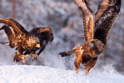 Pareja de Águilas