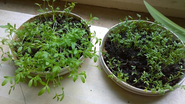 Kressetest mit noch unreifen Kompost (links) und ganz frischem Wurmhumus (rechts) (c) by Joachim Wenk