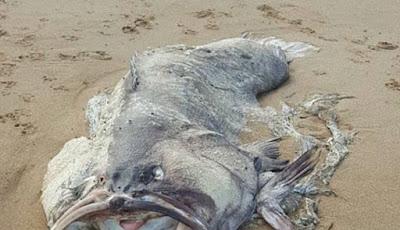 Bangkai ikan yang terdampar di pantai.
