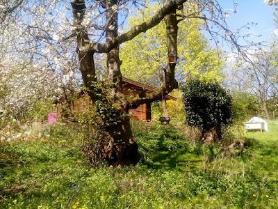 Blühender Kirschbaum im Naturgarten