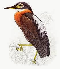 Garza nocturna espalda blanca Gorsachius Calherodius leuconotus