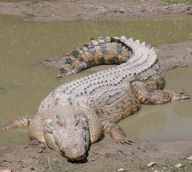 A large saltwater crocodile.