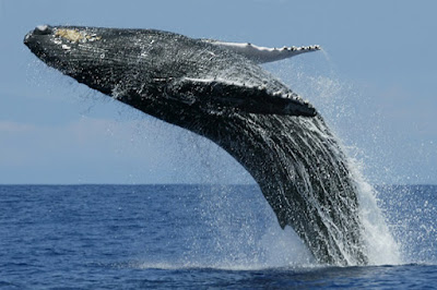 7 Mind Blowing Facts About Blue Whale