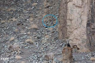 solucion Reto viral: Encuentra al leopardo de las nieves en la imagen