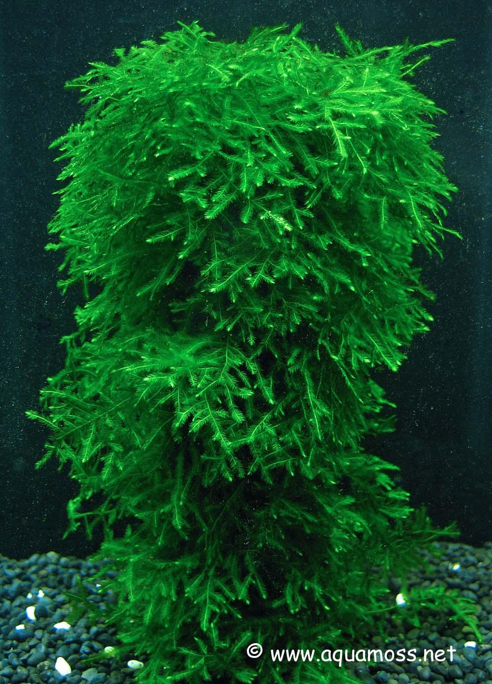 Rêu thủy sinh được buộc vào giá thể - sau một thời gian chăm sóc