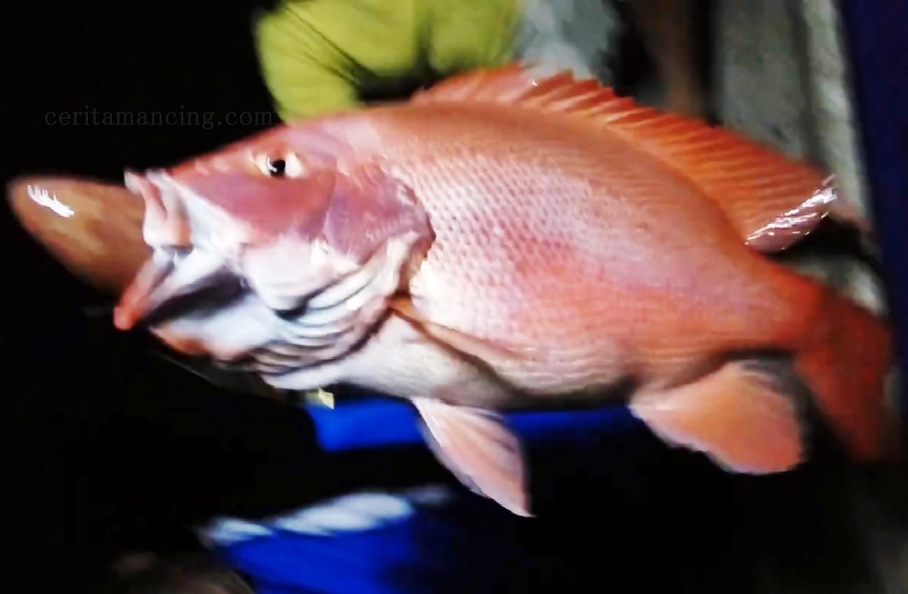 Anak Baru Patahkan Jorannya Strike Ikan Kakap Merah