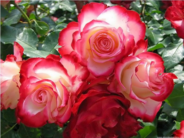 Những Hình ảnh Hoa Hồng đẹp Sắc Màu Truyện Cười Hình ảnh