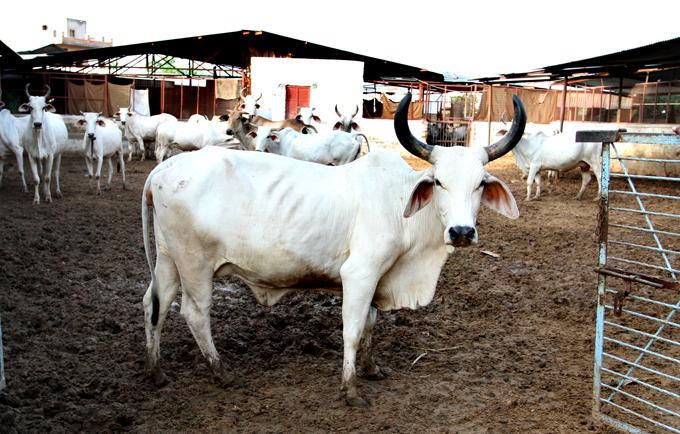 The Desi Cow - Almost Extinct