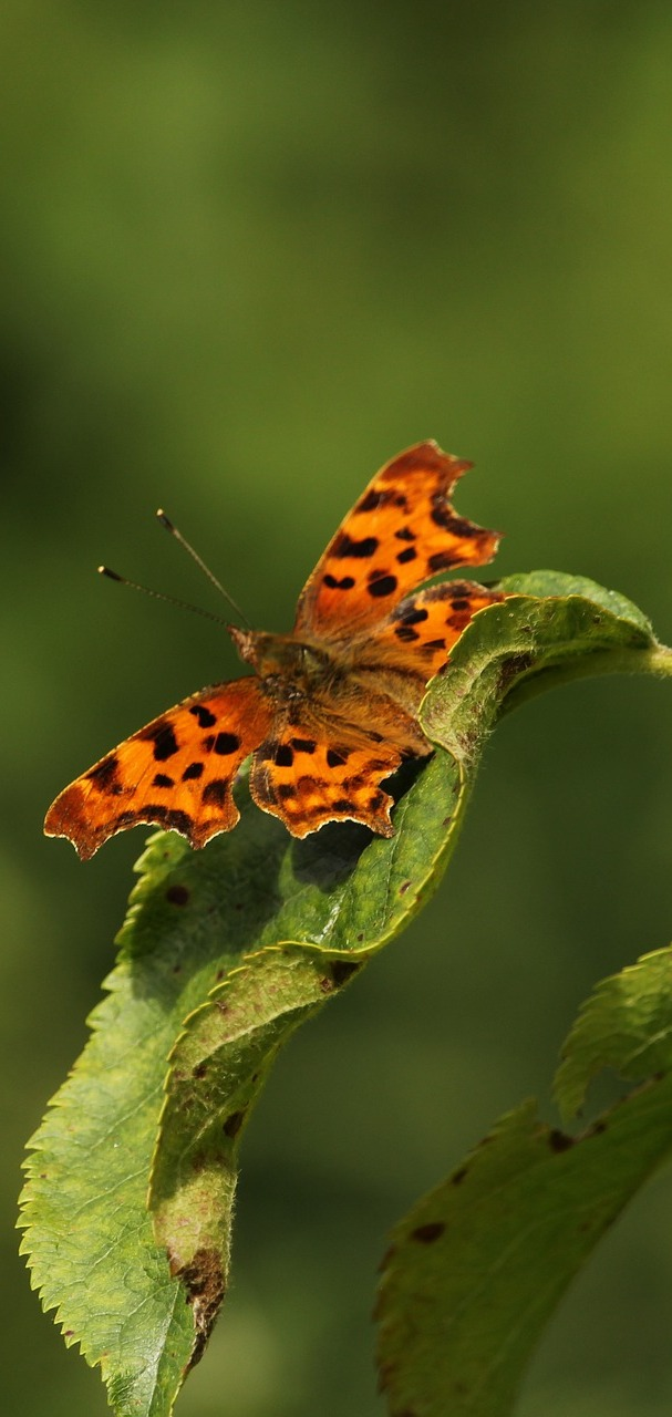 A comma butterfly on a leaf.