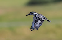 Pied Kingfisher -Birds In Flight Photography Cape Town with Canon EOS 7D Mark II Copyright Vernon Chalmers