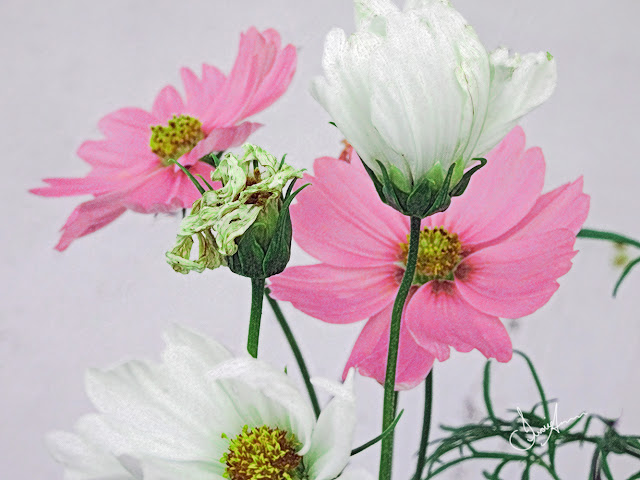 Pink & White Cosmos Flowers