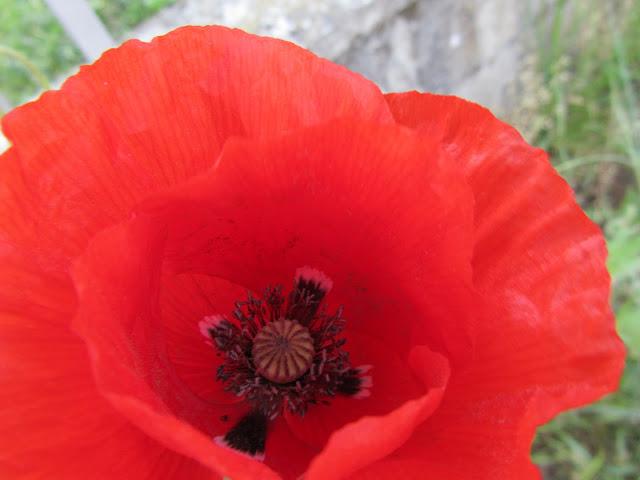 Fiore Papavero Rosso