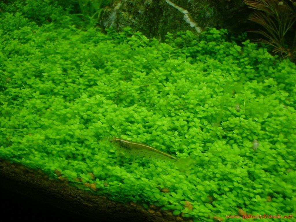 Hemianthus Callitrichoides - Tanaman - Tanaman Aquascape Untuk Pemula Yang Mudah Sekali Perawatanya