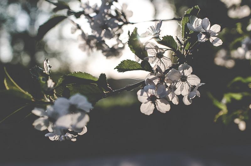 körsbärsblom, maj