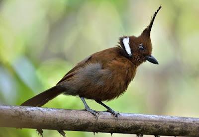 burung cililin coklat