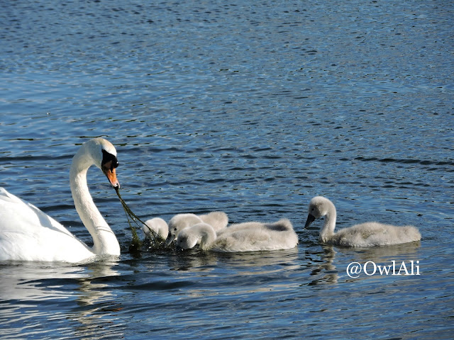 A swan feeding water plants to its cygnets