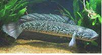 Channa Burmanica (Burmese snakehead)