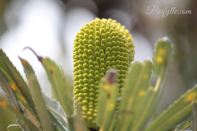 Banksia flower spike (inflorescence ) before anthesis