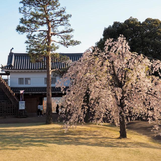 甲府城 舞鶴城公園 桜