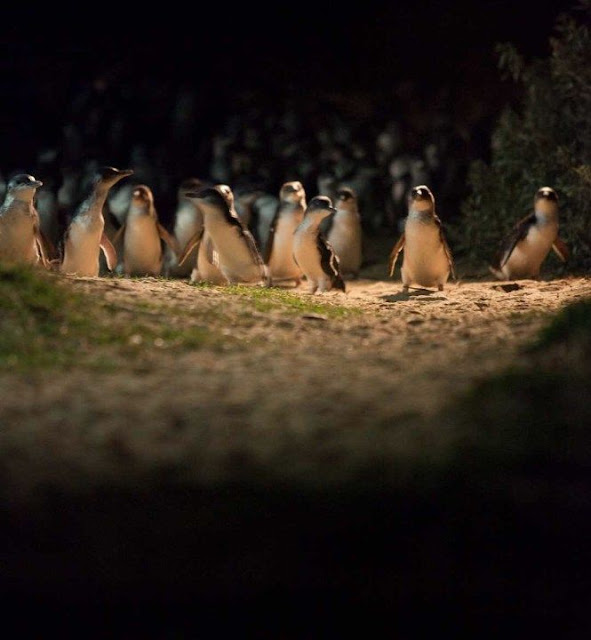 A waddle Fairy Penguins on Phillip Island, Australia. No Kicking Penguins and other penguin stories. marchmatron.com