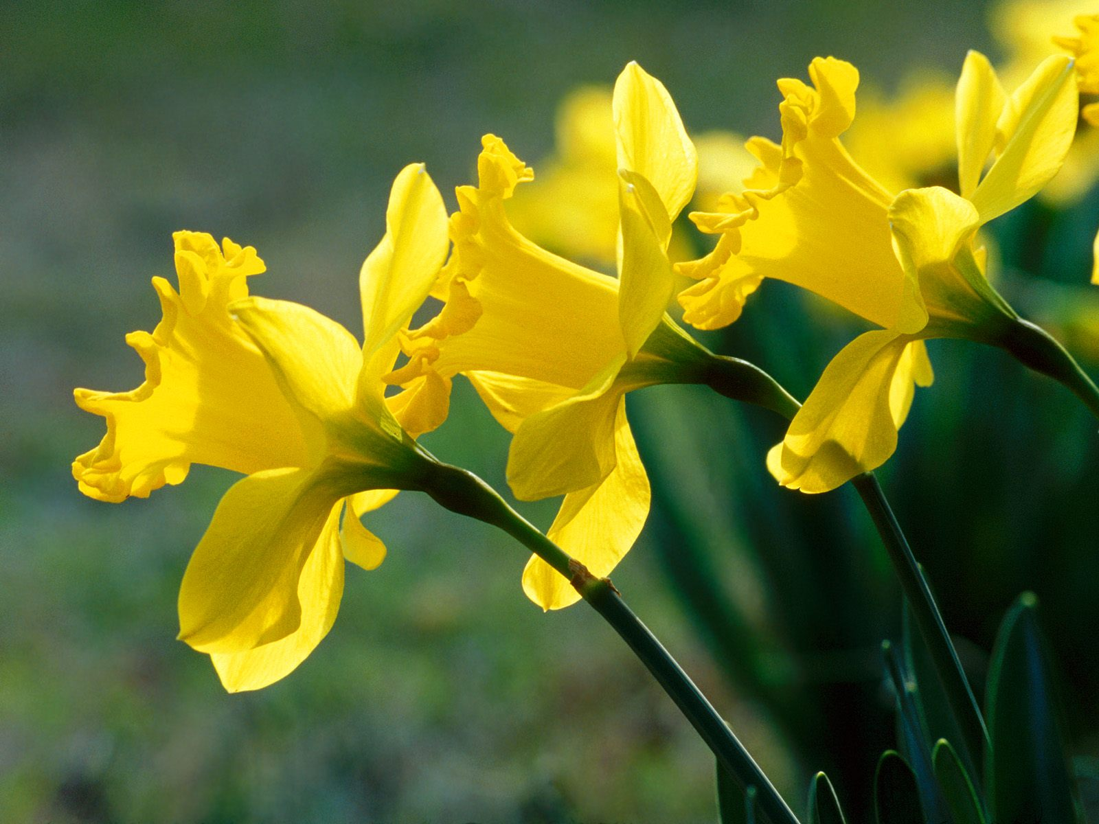 The Flower: Daffodils ~ Flower Home