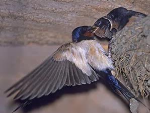 Frenky Indrawan Mengenal Sarang Burung Walet Dan Sriti