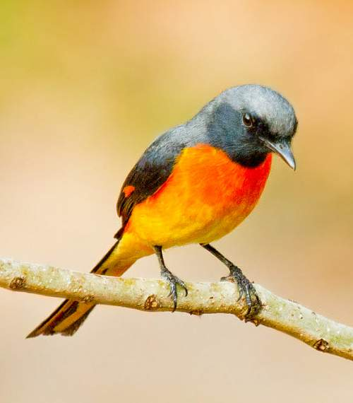 Indian birds - Picture of Small minivet - Pericrocotus cinnamomeus