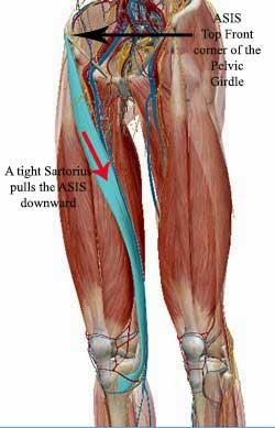 Image Gallery sartorius anatomy