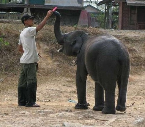 gajah berbagi makanan dengan manusia lucu