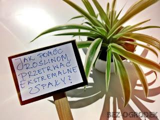 jak pomóc roślinom przetrwać suszę