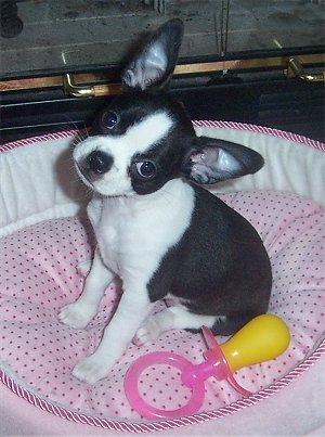 bull terrier chihuahua mix 7 mutts that put purebreds to shame featured creature 5368