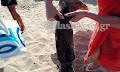 Θράψαλο – γίγας σε παραλία στα Χανιά (φωτο)