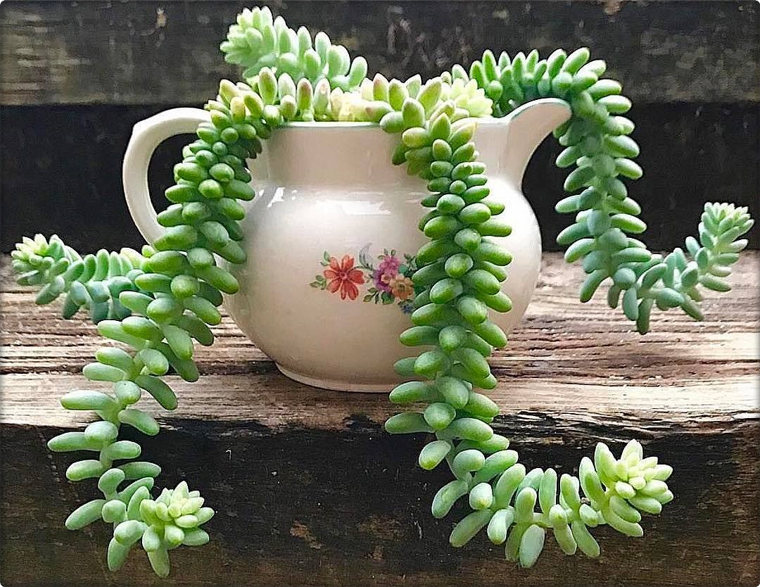 Sedum burrito burro s tail baby donkey tail cactus garden for Plants that need little care