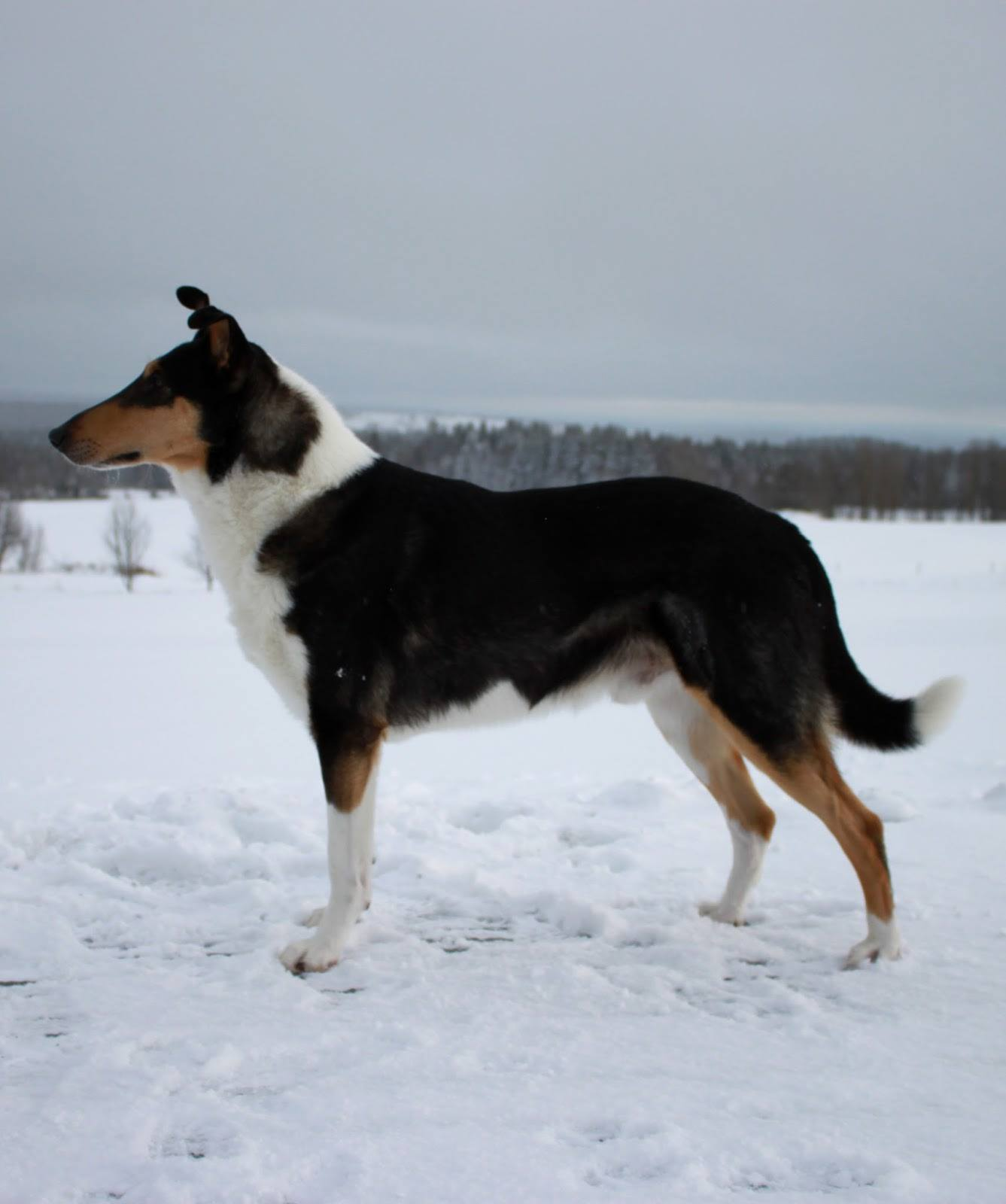 Sileäkarvainen collie, Vilda-Meduza North Of The Galaxy