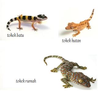 contoh gambar tokek, jenis-jenis tokek, ciri-ciri tokek, manfaat tokek, mitos tokek