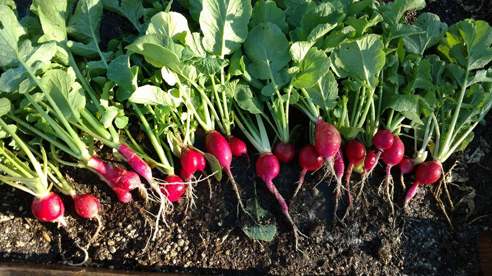 From Seed To Harvest Many Radish Varieties Are Ready In 23 35 Days Longer Larger Such As The Anese Minowase Can Take Up