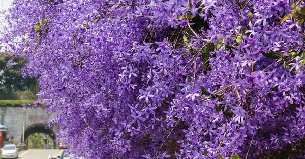 《南投.中寮》六七一茶花園整排錫葉藤盛開,紫爆超嚴重,免費參觀