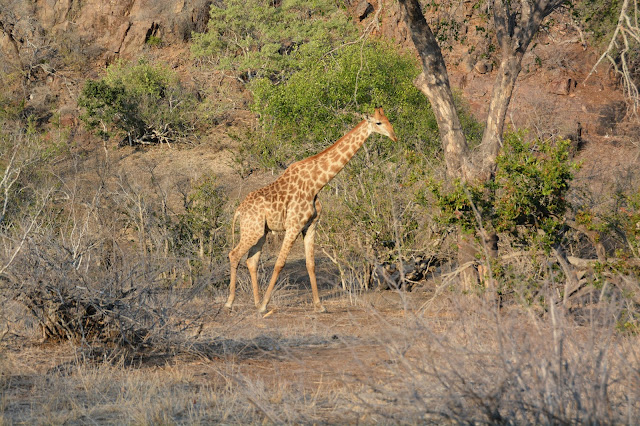 Singita Sweni South Africa hotel resort Kruger National Park giraffe