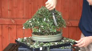 How to Prune Azalea Bonsai