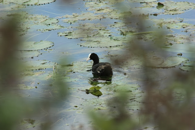 A common coot waterbird in a wetland just outside Kollegal town, Karnataka