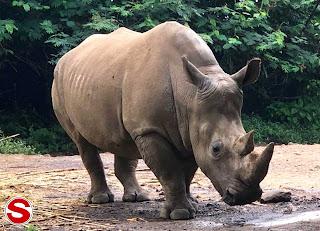 Gambar Badak Bercula Satu (Rhinoceras sondaicus)