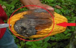 cara jitu mengatasi penyakit tanaman kakao
