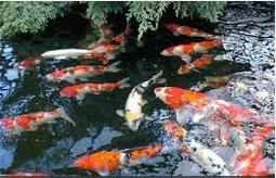 Ikan Hias Air Tawar Termahal Gerombolan Koi