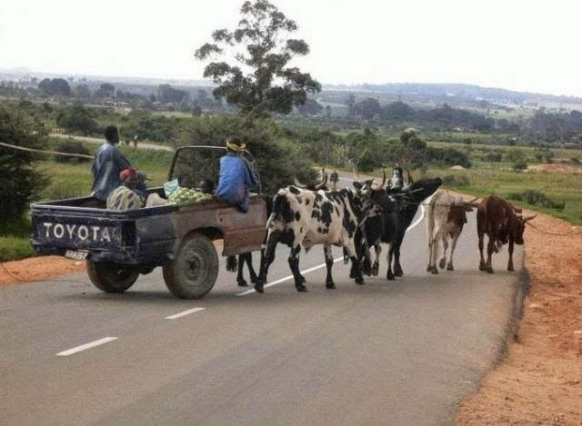 Funny African Toyota cow car joke picture