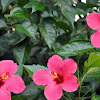 Cara Meramu Bunga Kembang Sepatu Untuk Obat Bronkitis