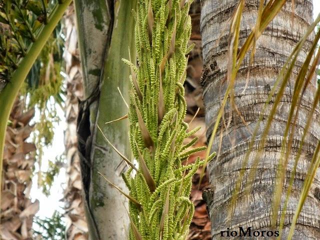flores de DASILIRION: Dasylirion serratifolium